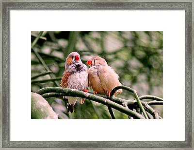 Zebra Finch Colloquy Framed Print by Rona Black