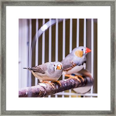Zebra Finch Pair Framed Print