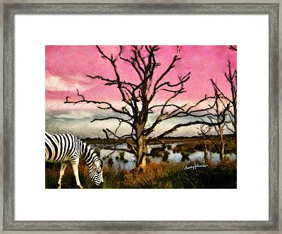 Zebra Grazing Framed Print by Anthony Caruso