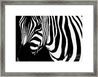 Zebra  Framed Print by Gull G