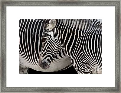 Zebra Head Framed Print by Carlos Caetano