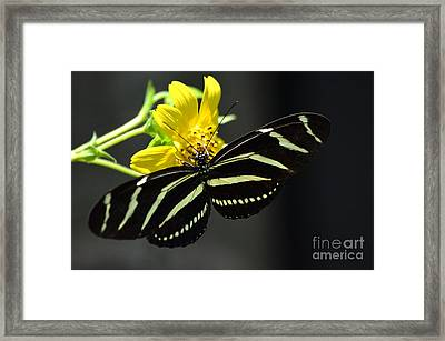 Zebra Heliconian Butterfly Framed Print