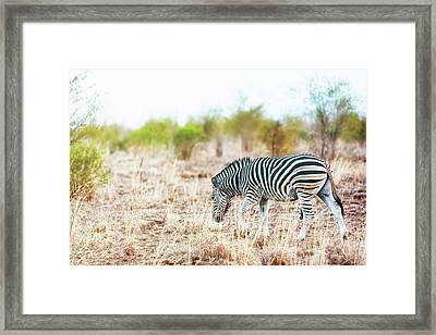 Zebra In Savanna Of South Africa Framed Print by Susan Schmitz