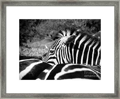 Zebra Incognito Framed Print by Tonya Laker