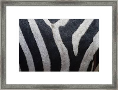 Zebra Framed Print by Linda Geiger
