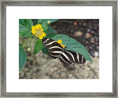 Framed Print featuring the photograph Zebra Longwing Butterfly - 1 by Paul Gulliver