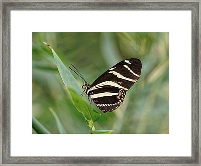 Framed Print featuring the photograph Zebra Longwing Butterfly - 2 by Paul Gulliver