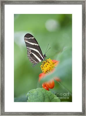 Zebra Longwing Butterfly Framed Print by Tim Gainey