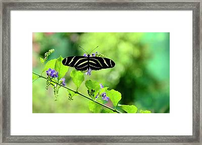 Framed Print featuring the photograph Zebra Longwing Butterfly by Corinne Rhode