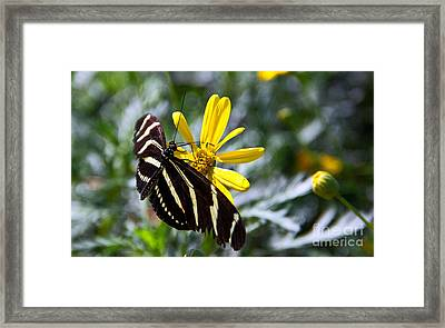 Zebra Longwing Feeding Framed Print by Kelly Holm