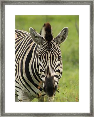 Zebra Looking At You Framed Print by Denise Dean