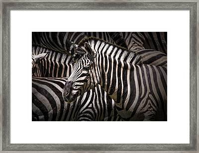 Zebra Lost Among The Herd Framed Print