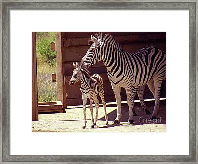 Zebra Mom And Baby Framed Print by Methune Hively