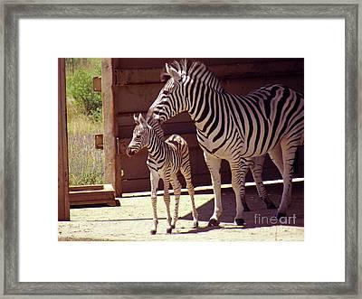 Zebra Mom And Baby Framed Print
