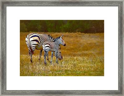 Zebra Mom And Foal Framed Print by Dyle   Warren
