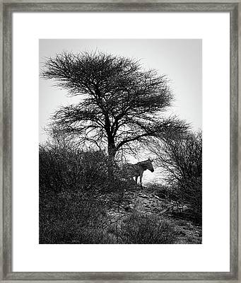 Framed Print featuring the photograph Zebra On A Hill  by Ernie Echols