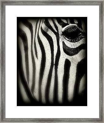 Zebra Framed Print by Perry Webster