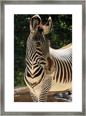 Zebra Portrait Framed Print by Aidan Moran