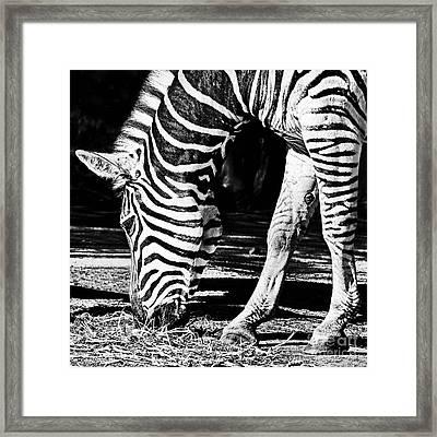 Zebra Portrait Black And White By Kaye Menner Framed Print