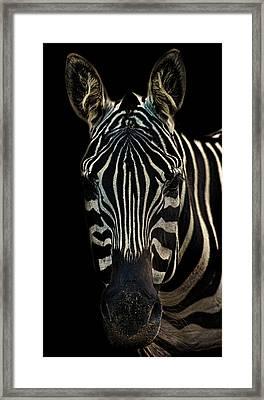 Zebra Portrait Framed Print by Martin Newman
