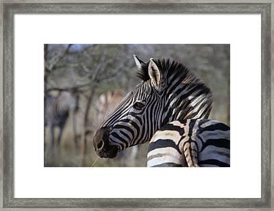 Framed Print featuring the photograph Zebra by Riana Van Staden