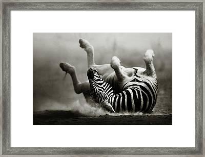 Zebra Rolling Framed Print