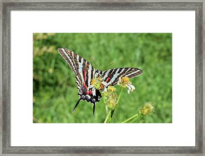 Zebra Swallowtail And Ladybug Framed Print