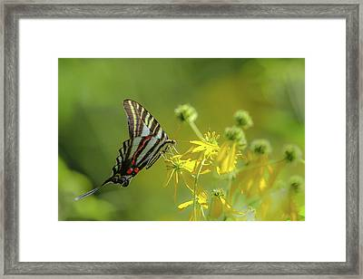 Framed Print featuring the photograph Zebra Swallowtail Butterfly by Lori Coleman