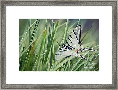 Zebra Swallowtail Framed Print