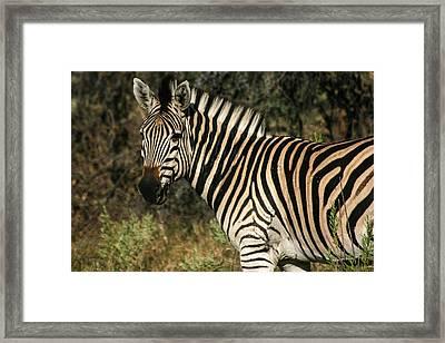 Zebra Watching Framed Print