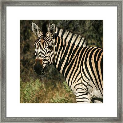 Zebra Watching Sq Framed Print