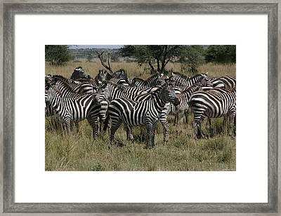 Zebra Zebra Zebra Framed Print