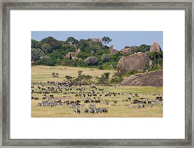 Zebras And Wildebeests Connochaetes Framed Print by Panoramic Images