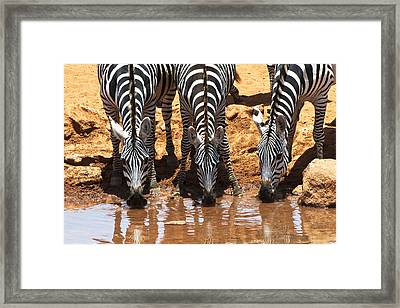 Zebras At The Watering Hole Framed Print
