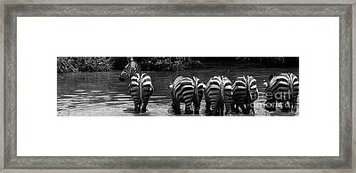 Zebras Cautiously Drinking Framed Print by Darcy Michaelchuk