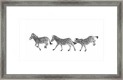 Zebras Dancing Framed Print