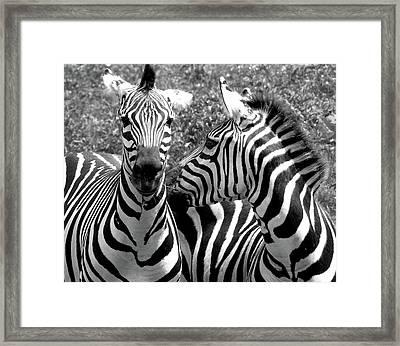 Zebras In Black And White Framed Print by Susan Lafleur