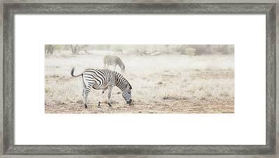 Zebras In Dreamy Scene - Horizontal Banner Framed Print by Susan Schmitz