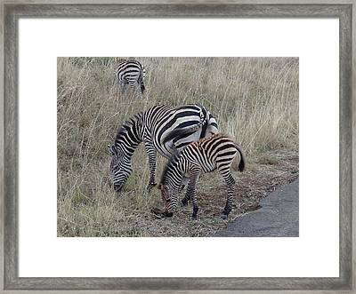 Zebras In Kenya 1 Framed Print