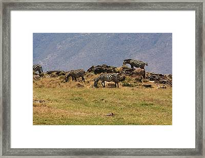 Zebras In The Ngorongoro Crater, Tanzania Framed Print by Aidan Moran