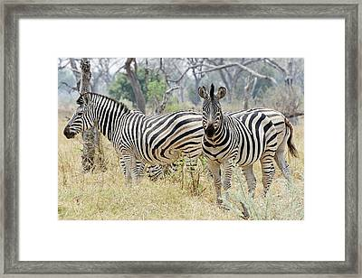Zebras Framed Print by Robert Shard