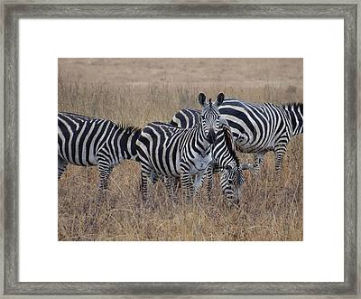 Zebras Walking In The Grass 2 Framed Print