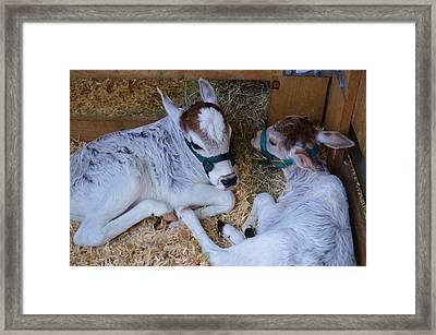 Zebu Calves Framed Print