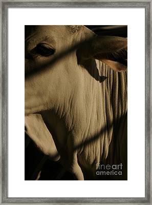 Zebu Framed Print