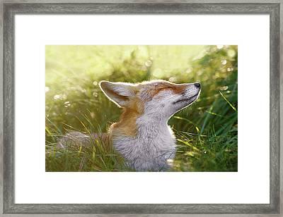 Zen Fox Series - The Sniffer Framed Print