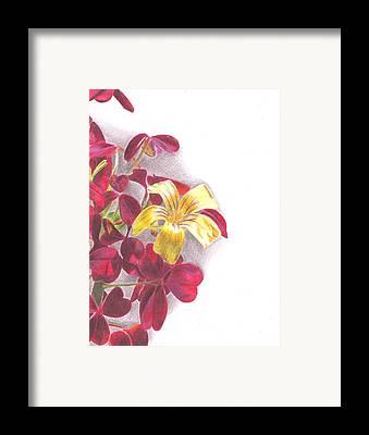 Zinfandel Drawings Framed Prints