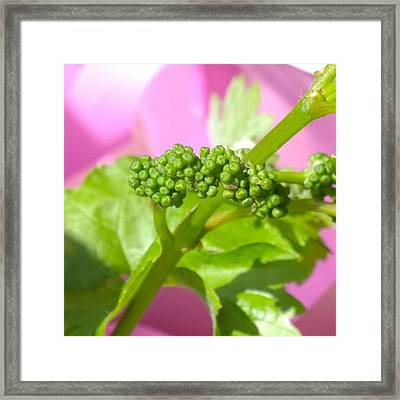 #zinfandel #wine #grapes Baby Buds Framed Print