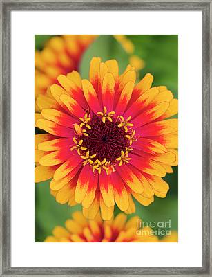 Framed Print featuring the photograph Zinnia Elegans Zowie Yellow Flame Flower  by Tim Gainey