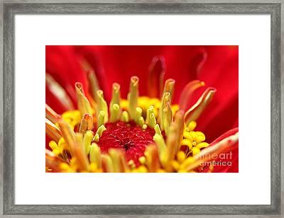 Zinnia Flower Heart Framed Print