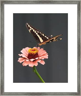 Zinnia With Butterfly 2702 Framed Print